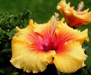hibiscus-426285_960_720